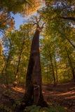 Wysoki suchy drzewo w lesie obrazy stock