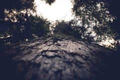 Wysoki Waszyngto?ski lasowy drzewo z sercem kszta?towa? baldachimu widok obraz royalty free