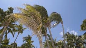Wysoki zielony drzewka palmowego ko?ysanie przeciw niebu 4K zdjęcie wideo