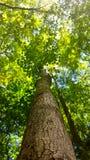 Wysoki zielony drzewo Fotografia Royalty Free