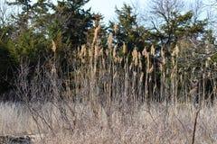 Wysokie świrzepy w lesie obraz royalty free