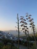 Wysokie agaw rośliny Obraz Stock