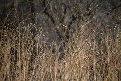 Wysokie brown rośliny, jesień Fotografia Royalty Free