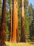 wysokie drzewa zdjęcie royalty free