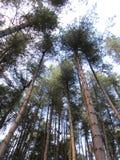 wysokie drzewa Zdjęcia Royalty Free