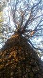 wysokie drzewa Obrazy Royalty Free
