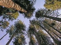 wysokie drzewa Zdjęcia Stock