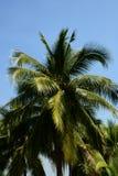 Wysokie kokosowe palmy Zdjęcie Royalty Free