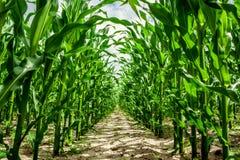 Wysokie kukurydzane uprawy obrazy stock