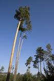 wysokie lasowe sosny obrazy stock