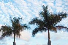 Wysokie palmy Zdjęcia Stock