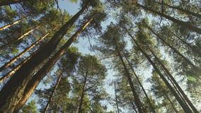 Wysokie sosny, panorama zbiory