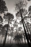 Wysokiego drzewa las Zdjęcia Stock