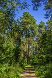 Wysokie sosny w lato lesie Rosja Zdjęcie Stock