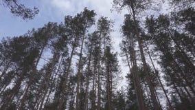 Wysokie sosny w lesie przy pięknym dniem, dolly krótkopęd zbiory wideo