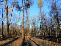 Wysokie sosny w parku zdjęcia stock