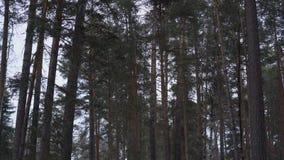 Wysokie sosny wolno kiwają w wiatrze w lasowej panoramie zbiory