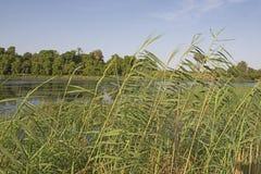 Wysokie traw płochy r wzdłuż brzeg rzeki krajobrazu Zdjęcia Stock