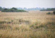 Wysokie trawy z lwicą w królowej Elizabeth parku narodowym, Ugan Zdjęcia Stock
