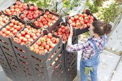Wysokiego kąta widok średniorolnego sztaplowania pomidorowe skrzynki przy szklarnią zdjęcia stock