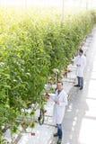 Wysokiego kąta widok koledzy egzamininuje pomidorowe rośliny przy szklarnią zdjęcia stock