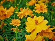 Wysokiego kąta widok W górę Żółty kwiatu pole zdjęcia royalty free