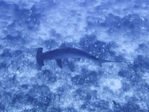 Wysokiego kąta widoku Hamemrhead Scalloped rekin nad rafą Obraz Royalty Free