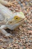 Jaszczurka na kamieniach Zdjęcie Royalty Free