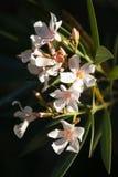Wysokiego kontrasta wizerunek łosoś Coloured oleander Fl Zdjęcie Royalty Free
