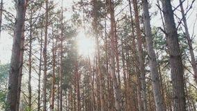 Wysokiego lasu sosny w promieniach światło słoneczne Natura Las zbiory wideo