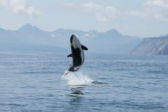 wysokiego skoku zabójcy wieloryb Zdjęcia Royalty Free