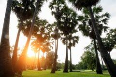 Wysokiego toddy lub Cukrowej palmy Borassus flabellifer drzewo w z th Obrazy Royalty Free