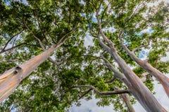 Wysokiej tęczy Eukaliptusowi drzewa na Oahu, Hawaje obraz stock