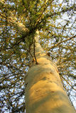 Wysokiej Zieleni Wywodzony Cierniowy Drzewo Zdjęcia Stock