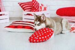 Wysokości Syberyjskiego husky spłodzony szczeniak zdjęcia royalty free