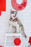 Wysokości Syberyjskiego husky spłodzony szczeniak obrazy royalty free