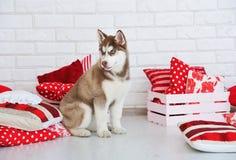 Wysokości Syberyjskiego husky spłodzony uroczy szczeniak zdjęcie royalty free