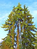 wysokości jedlinowi drzewa trzy Fotografia Royalty Free