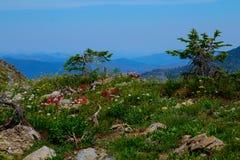 wysokogórscy wildflowers zdjęcie stock