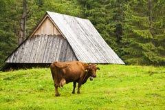 wysokogórska krowa Obrazy Stock