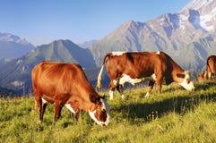 wysokogórska krowa Zdjęcia Royalty Free
