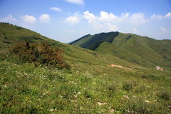 wysokogórska leśna sosna łąkowa Zdjęcia Stock