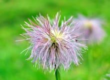 wysokogórski kwiat Fotografia Royalty Free