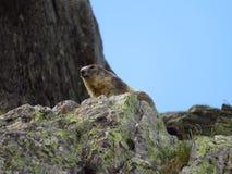 wysokogórski świstak Zdjęcie Royalty Free