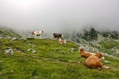wysokogórskie krowy Obrazy Royalty Free