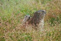 Wysokogórski świstak na trawie (Marmota marmota) Obrazy Royalty Free