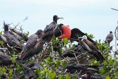 Wyspa fregata ptaki Zdjęcie Stock