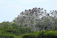 Wyspa fregata ptaki Zdjęcie Royalty Free