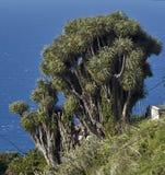 Wyspa Kanaryjska smoka drzewa Fotografia Royalty Free