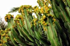 Wyspa Kanaryjska wilczomlecz - toksyczny kaktusowych euforbii canariensis Śliwki Zdjęcia Royalty Free